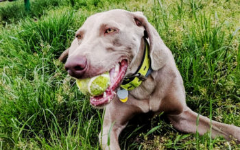 Help! My Weimaraner Is Obsessed With The Ball!