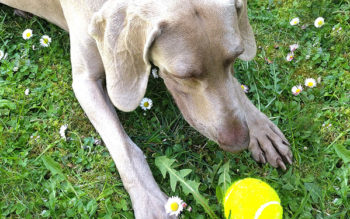 Help! My Weimaraner Dog Is Obsessed With Fetch!