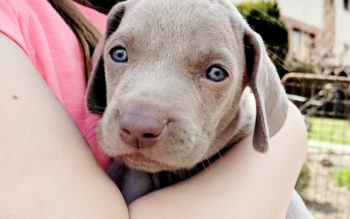 Are Weimaraners Good With Children?