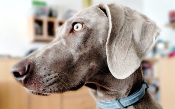 Do Weimaraners Shed a Lot?