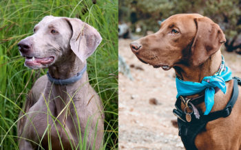 Which Dog Breed Is Similar To a Weimaraner?