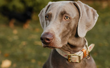 What Are The Types of Weimaraners?