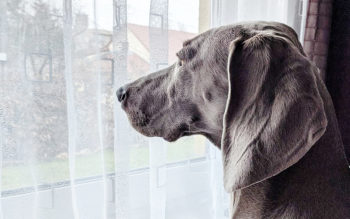 Separation anxiety in Weimaraners