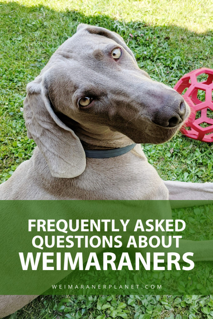 Frequently Asked Questions About Weimaraners
