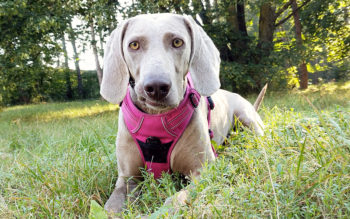 weimaraner in pink harness