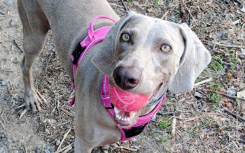 Best Exercise For Weimaraners