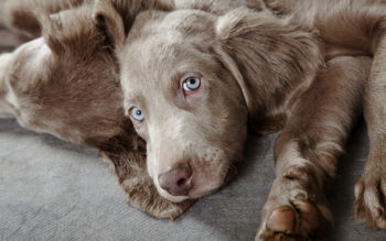 Do Weimaraners Keep Their Blue Eyes?
