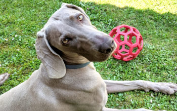Best Dog Toys For Weimaraners