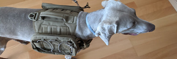 Weimaraner with a backpack