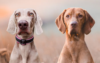 Weimaraner vs Vizsla: What's The Difference?
