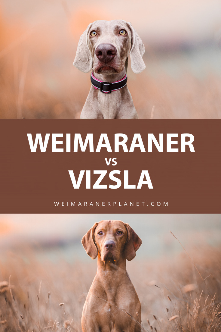 Weimaraner vs Vizsla Pin