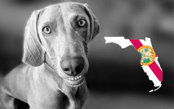 Weimaraner Rescues in Florida (Incl. Adoption Process & Fees)