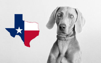 Weimaraner Rescues In Texas (Incl. Adoption Process & Fees)