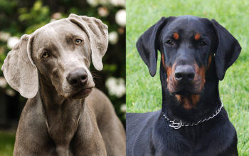 Weimaraner vs Doberman: What's The Difference? (Complete Guide)