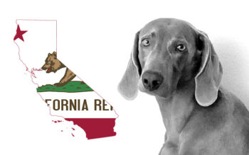 Weimaraner Rescues in California (Incl. Adoption Process & Costs)