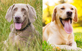 Weimaraner vs Labrador: What's The Difference?