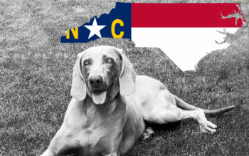 Weimaraner Rescues in North Carolina (Incl. Adoption Process & Fees)